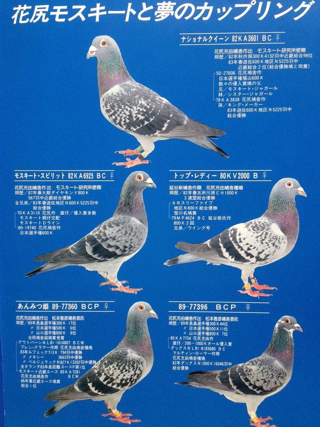 源鳩ドラゴン号との共同作出予定の花尻鳩舎代表雌鳩たち