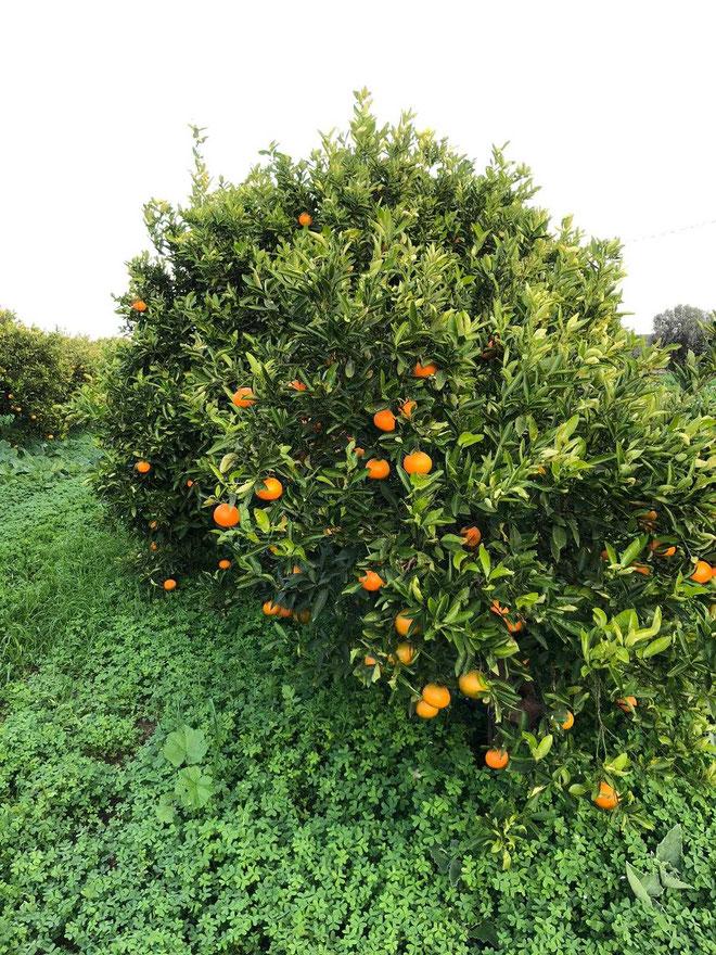 acquisto-online-clementine-di-sicilia