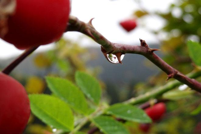 Rosendorn am Zinselsteig
