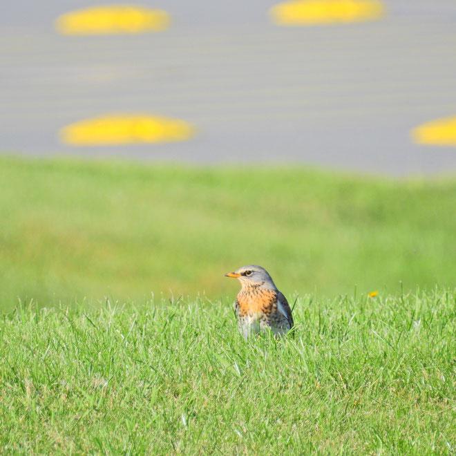 Rotdrossel - Turdus iliacus - Roode Drussel - Redwing - Sabine Rümenap wildes Ostfriesland