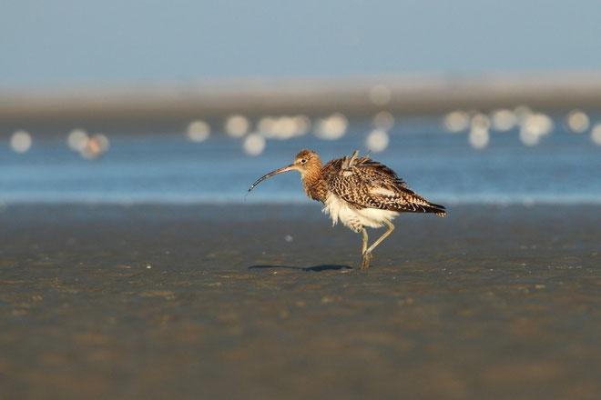 Courlis cendré au plumage soulevé par le vent?