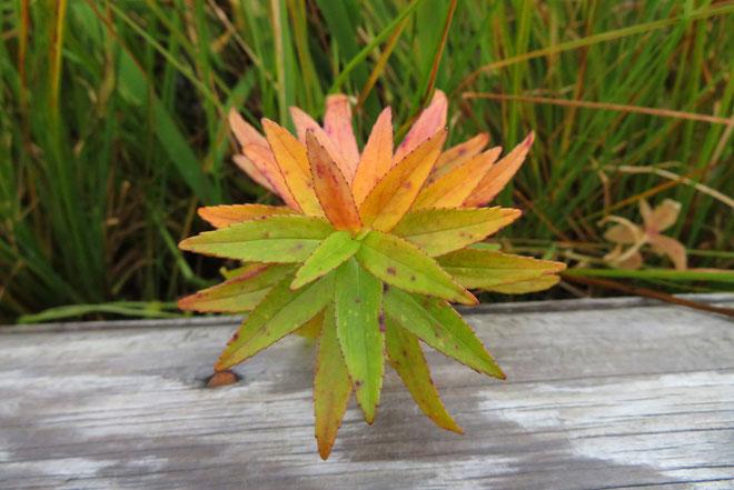半分ピンクに染まりかけたサワギキョウの葉
