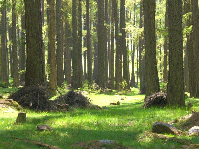 Gesundheit und Wohlbefinden finden im gesunden Wald am Reschenpass im Vinschgau - Südtirol. Lärchenwald in Reschen am See am Reschensee bei Nauders.