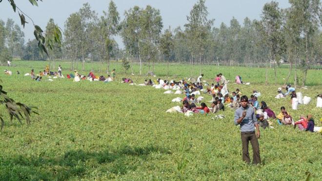 La main d'oeuvre etant tres nombreuse et peu chere, la recolte se fait a la main dans les champs.