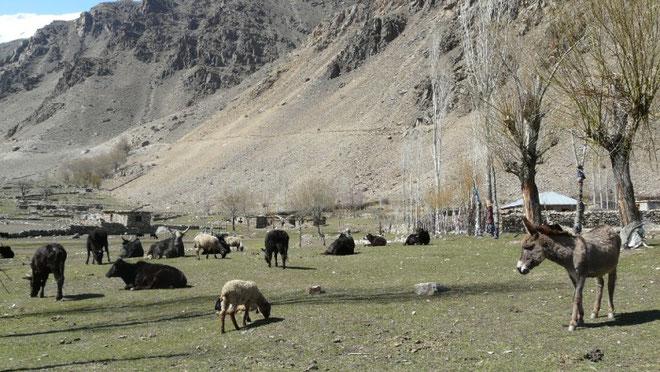 Anes, moutons et dzos (croisement vache/yak) paissent dans la vallée d'Astore