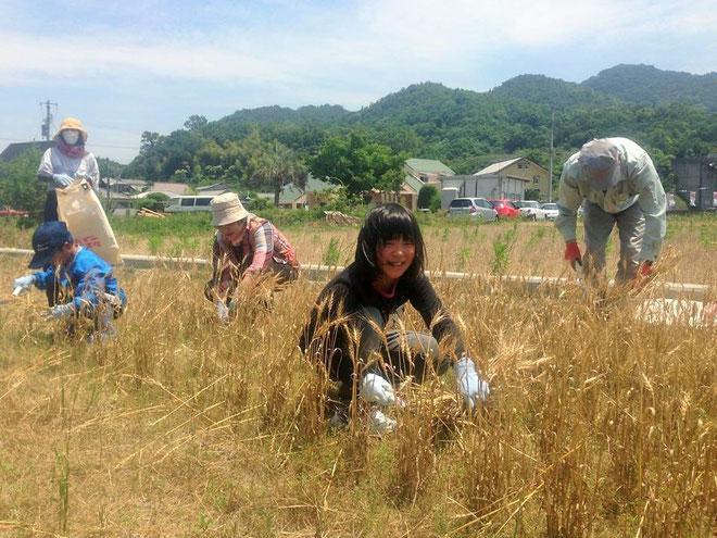 香川県産小麦「さぬきの夢2009」を収穫中