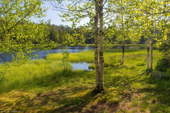 vereinzelte Birken am Wasser
