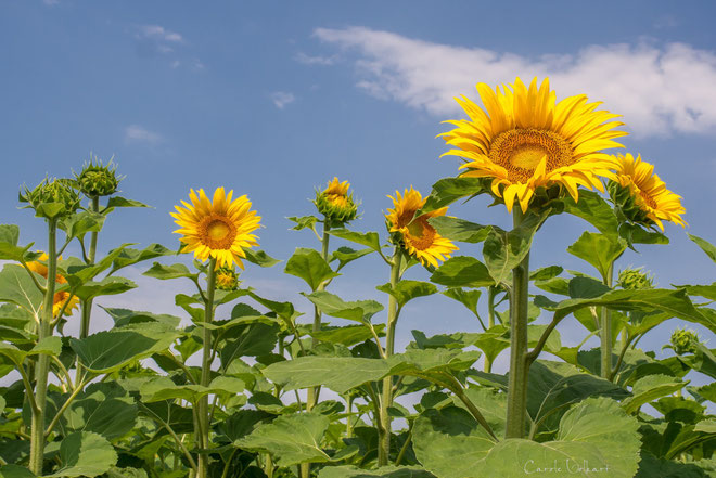 Sonnenanbeterinnen :-)