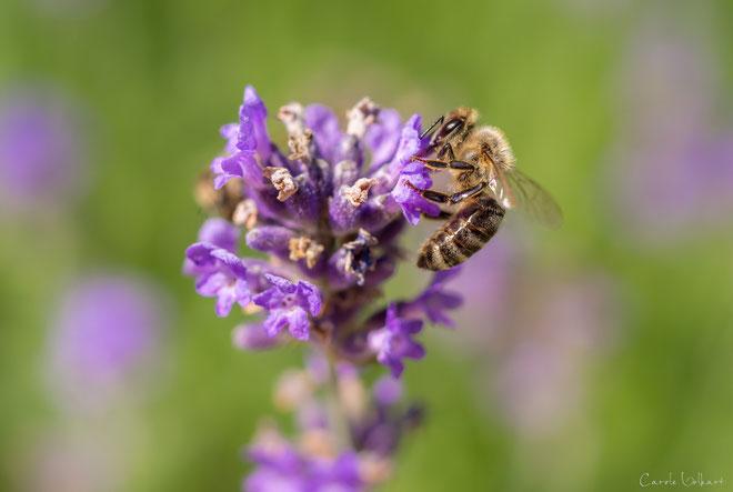 Biene auf Lavendelblüte