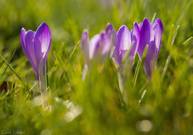 Auch in Badenweiler hielt der Frühling Einzug. Hier im Bild violette Krokusse im Park.
