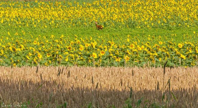 der Rehbock im Sonnenblumenfeld - Aufnahme leider ohne Tele