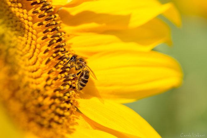 nochmals dieselbe Biene auf derselben Sonnenblume :-)