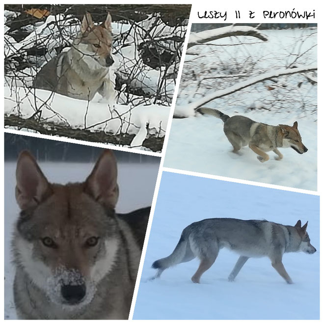 Wolfhund Sombra Vater vom B Wurf