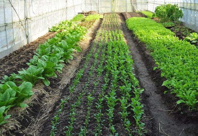 小松菜を栽培しているハウス