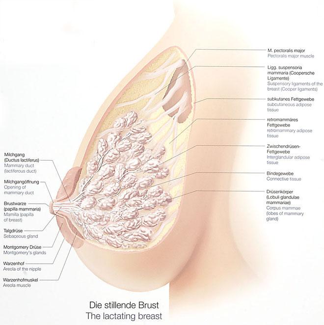 Für die Erhöhung der Brust von semenowitsch