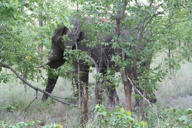 elefante nei mopane