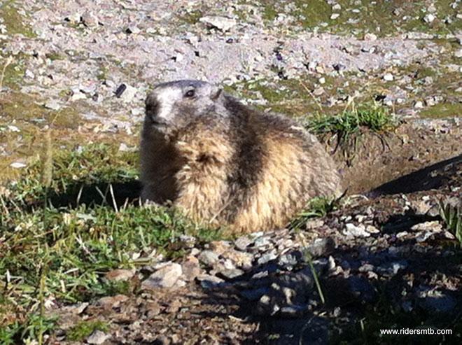 Marmotte, stambecchi e camosci sembra vogliano mettersi in mostra, è straordinario la quantità di fauna avvistata