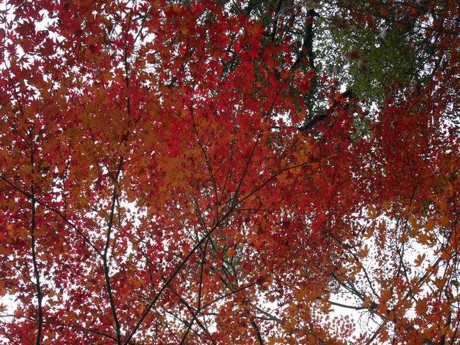 紅葉も終盤ですが燃えるような赤い色