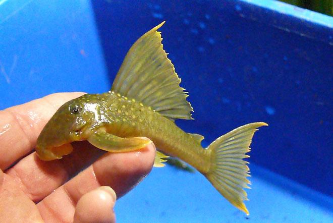 L200 low fin,  15 cm