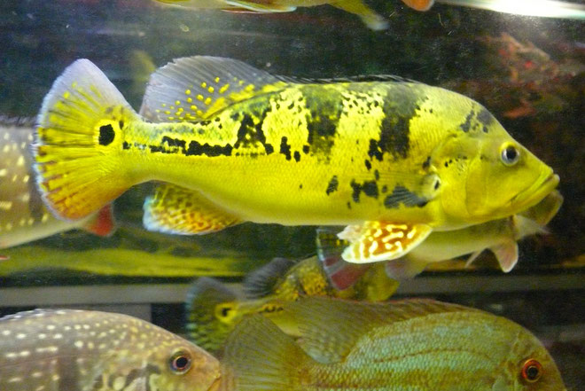 Cichla kelberi, Wildfang, Wild caught