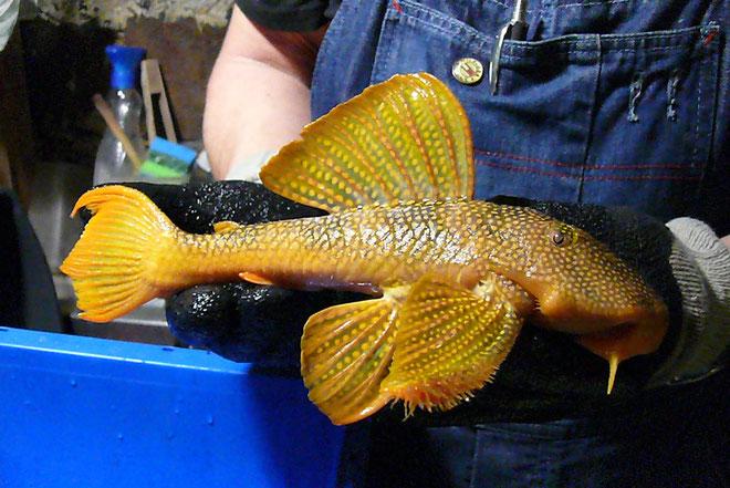 L014,  diverse Größen,  several sizes , WF, wild caught