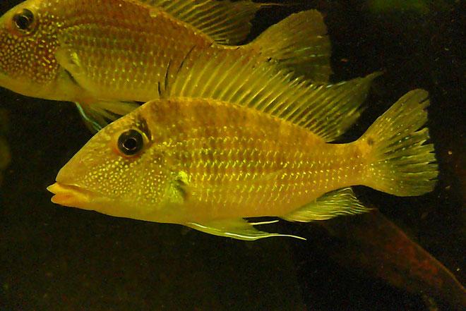 Satanoperca sp. leucosticta