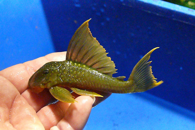 L200 high fin, 15 cm