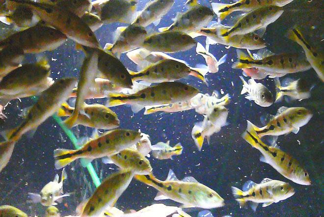 Cichla monculus, Jungfische