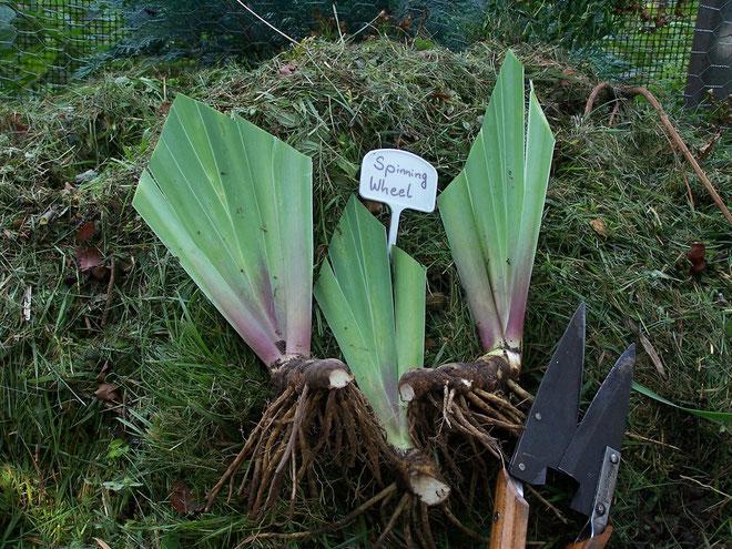 Schwertlilien - bereit zum Einpflanzen - iriszucht.de