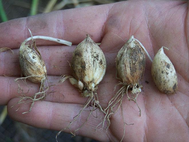 Zwergschwertlilien - bereit zum Einpflanzen - iriszucht.de