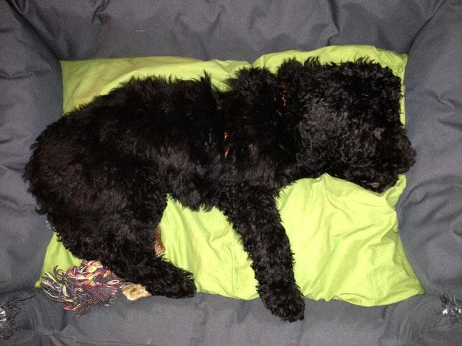 Faultier! Leibspeise: Hundebett - Am 4. Januar 2013 9.5kg schwer
