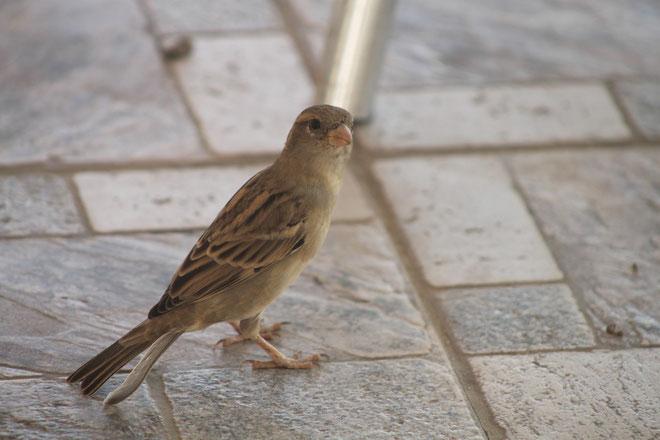 Ein jordanischer Sperling.
