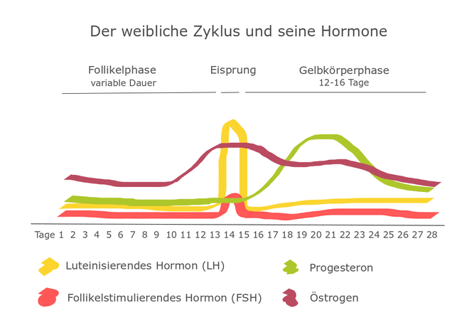 Hormone Menstruation Zyklus Eisprung Fruchtbarkeit Östrogen Progesteron