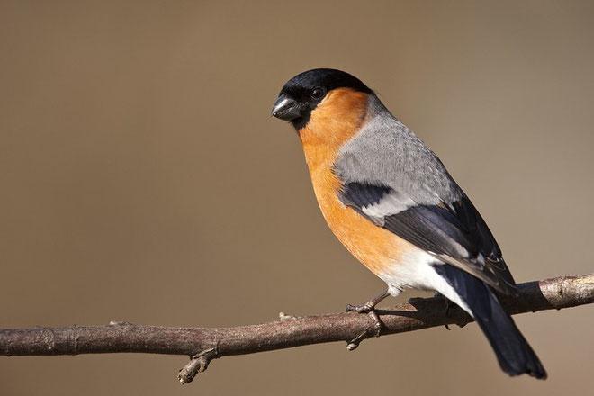 Gimpel (Pyrrhula pyrrhula), auch Dompfaff oder Blutfink / Eurasian Bullfinch
