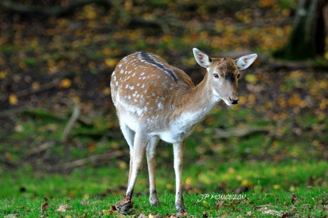 DSC_0719-Daim européen-Dama dama_Parc animalier