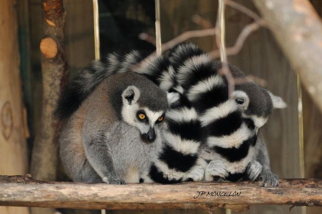 DSC_0888-Lémuriens-Maki catta-Lemuridae_Parc animalier