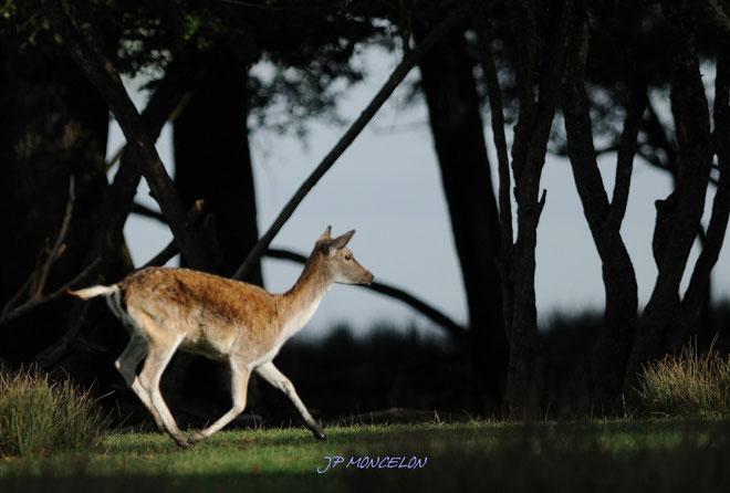 DSC_0749-Daim européen-Dama dama_Parc animalier