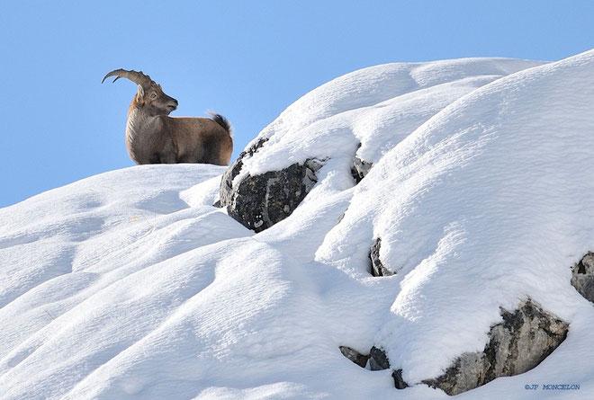 _DSC3950-Bouquetins-Capra ibex