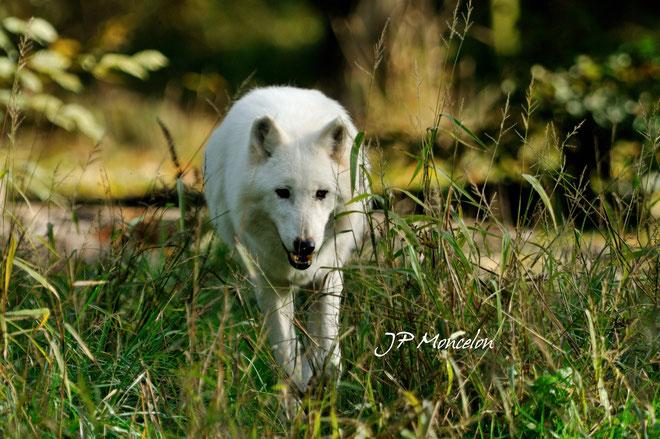 DSC_0766-loup blanc de l'arctique-Canis lupus arctos-Arctic wolf_Parc animalier