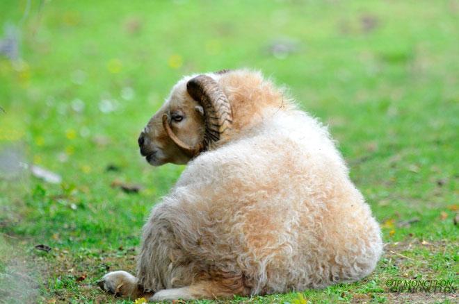 _DSC8295-Mouton d'Ecosse