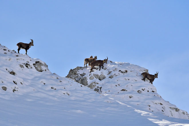 _JPM4446_Bouquetins-Capra ibex-Alpine Ibex