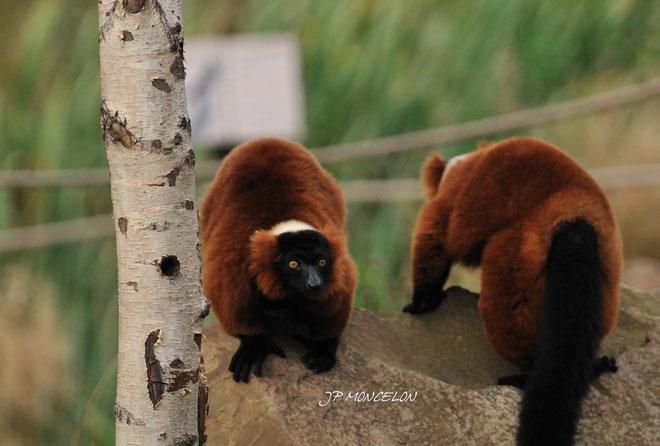 DSC_0912-Lémuriens-Lemuridae_Parc animalier