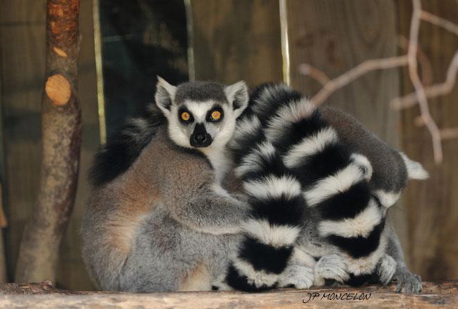 DSC_0891-Lémuriens-Maki catta-Lemuridae_Parc animalier