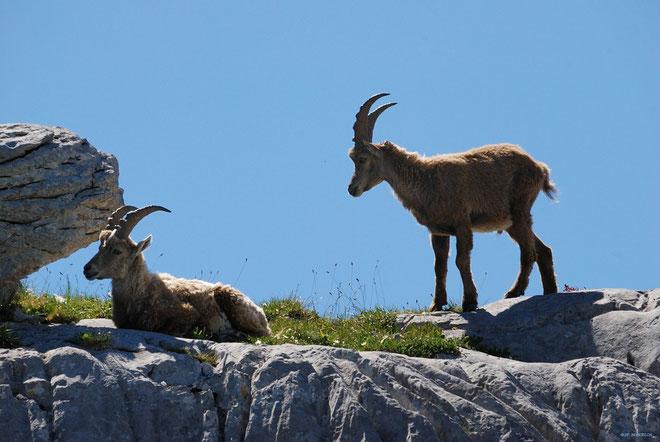 DSC_3091-Bouquetins-Capra ibex