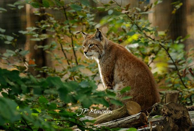 DSC_0790-Lynx boréal-Lynx lynx