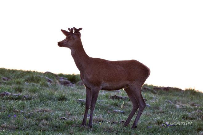 _DSC4512-cerf élaphe -Cervus elaphus