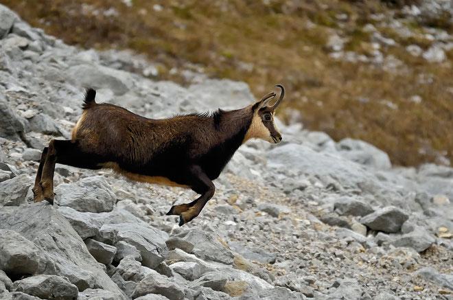 _JPM4808_Chamois-Rupicapra rupicapra-Roe deer