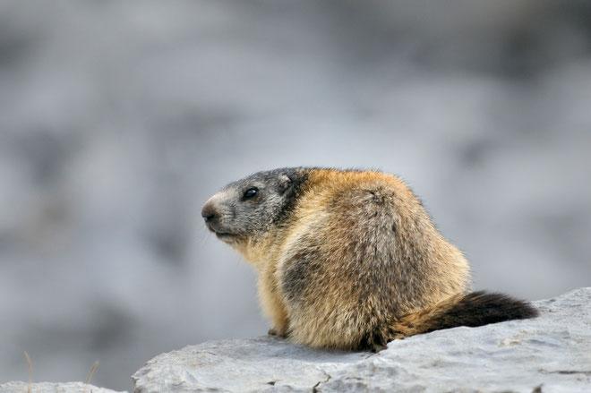_DSC0508-Marmotte des Alpes.-marmota marmota-groundhog