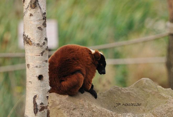 DSC_0911-Lémuriens-Lemuridae_Parc animalier