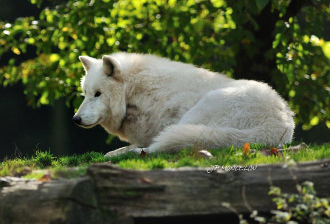 DSC_0779-loup blanc de l'arctique-Canis lupus pambasileus-Arctic wolf_Parc animalier